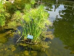 Papyrus (Martin LaBar) Tags: coastalmainebotanicalgardens cyperus papyrus cyperuspapyrus cyperaceae