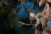 Morning Sun (martytdx) Tags: ca may sanfrancisco birding birds jay westernscrubjay californiascrubjay westernscrubjaycoastal aphelocomacalifornica aphelocoma corvidae lafayettepark trophyshot lifelist