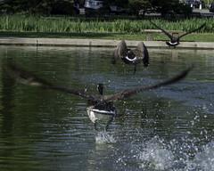 CanadaGeese_SAF3392 (sara97) Tags: copyright2016saraannefinke missouri nature outdoors photobysaraannefinke saintlouis towergrovepark urbanpark wildlife geese canadageest canadagoose flight brantacanadensis