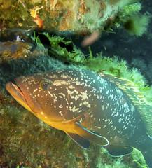 Merou (juredel) Tags: juredel merou becon olympus corse corsica méditéranée mediteranneansea blue fish poisson banc omd em5 oxy oxygene wall wallpaper