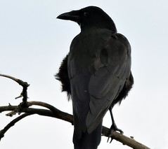 Carrion Crow, Corvus corone (asterisktom) Tags: 2016 trip2016kazakheuro july germany kahl bavaria bayern carrioncrow crow corvuscorone