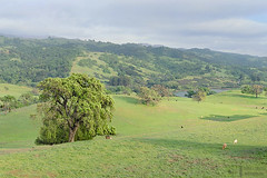 Majestic Oak and Grant Lake (James L. Snyder) Tags: cows bovine cattle grazing quercus oak trees forest grass foothills hills mountains mountainside slope valley meadow pasture grassland lake ranch countypark park native vernal lush luxuriant verdant shrouded obscured clinging old rural country pastoral bucolic green bluesky cumulus clouds veiled cloudy tranquil peaceful idyllic majestic whitebarn washburntrail josephgrantcountypark hallsvalley mthamilton sanfelipehills grantlake ranchocaadadepala bayarea sanjose santaclaracounty diablorange coastalmountains california usa horizontal treesonhills afternoon march spring 2015