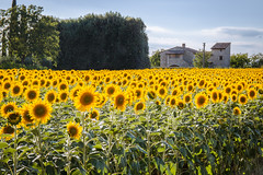 Field of happiness (shyamgn) Tags: sunflower happy yellow flowers trees farm italy assisi
