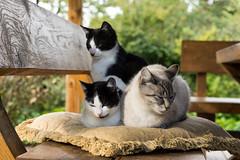 sweet dreams (Rambynas) Tags: cat sleep