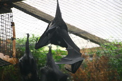 036 06-10-16 FLYING FOX DURRELL ZOO JERSEY (PAUL H BURNS) Tags: jersey durrellzoojersey flyingfox