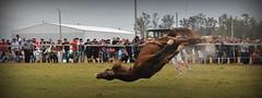 La pialada (Eduardo Amorim) Tags: cavalos caballos horses chevaux cavalli pferde caballo horse cheval cavallo pferd cavalo cavall     crioulo criollo crioulos criollos cavalocrioulo cavaloscrioulos caballocriollo caballoscriollos argentina sudamrica sdamerika suramrica amricadosul southamerica amriquedusud americameridionale amricadelsur americadelsud eduardoamorim gaucho gauchos gacho gachos pialo pialada pealo pealada pasodeloslibres corrientes provnciadecorrientes corrientesprovince