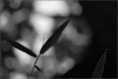 monsoon soul (nevil zaveri (thank you for 10 million+ views :)) Tags: zaveri drizzle rain rainy monsoon season wilderness nature gujrat india photography photographer images photos blog stockimages photograph photographs eru navsari plant plants poetic poem poetry gujarat nau nevil defocus water leaf leaves nevilzaveri stock photo bamboo trees bokeh drop monochrome blackandwhite bw