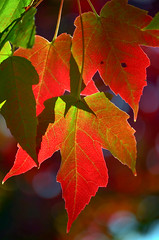 While it lasts (James_D_Images) Tags: maple leaves fall autumn foliage fallcolour fallcolor colour color red green bokeh backlit vancouver britishcolumbia