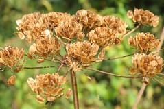 Samen tragender Wiesen-Brenklau (Heracleum sphondylium); Rieselfelder, Mnster-Gimbte (21) (Chironius) Tags: frucht fruit frutta owoc fruta  frukt meyve    buah asterids campanuliids apiales apiaceae asteriden doldenbltler