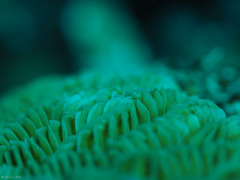 Brain coral (jesse_the_ros) Tags: explore photography macro exploring 60mm nature wandering olympus outdoor coral yellow braincoral cuw curaao kleincuraao