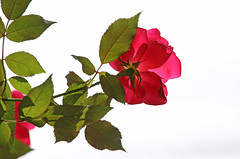 Autumn Rose (jrussell.1916) Tags: flowers roses autumn red illuminated highkey leaves foilage canonef70200f4lis14tc