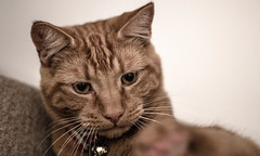 Moody cat life (broadbentlaura) Tags: kingcat comfort bestmeow beaut adoptdontshop happy cute caturday adopted adorable meow catsofflickr kitten kitty cats 50mm eyes attitude animals pet love moggie ginger cat lad