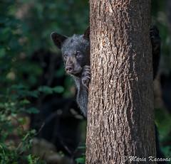 Black Bear Cub (photosbymk) Tags: black bear cub blackbear