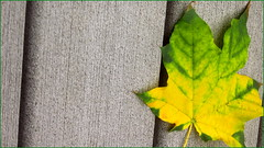 (timetomakethepasta) Tags: leaf colorful green yellow mixture design detail photography outside outdoors nature new york backyard deck autumn fall season october