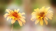 Autumn. (augustynbatko) Tags: autumn flower flowers macro nature pastel plant