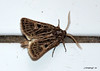 7 DSC_0041B (Pep Companyó - Barraló) Tags: insectes animals natura papallona papallones mariposas borboletas butterfly papillon lepidopteres josep companyo barralo