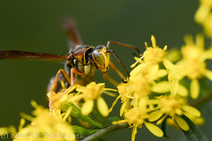 Northern Paper Wasp (dbifulco) Tags: northernpaperwasp garden insects macro nature newjersey nikkor105f28 wildlife