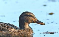 MRC_3827 (Obsies) Tags: patos gaviotas seagull lake laguna cangas morrazo ducks sigma300800 sigmonster nikon nikond500 zenelli naturaleza nature openair airelibre