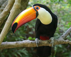 The Bright and Beautiful Toucan (Penny Hyde) Tags: bird sandiegozoo toucan