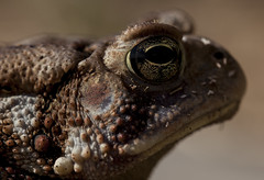 Don't come closer (Klaus Ficker --Landscape and Nature Photographer--) Tags: closeup macro frog kentuckyphotography klausficker canon eos5dmarkii tamron180mmmarco