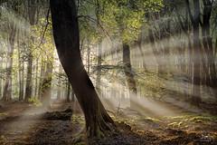 Dancing Tree (Bram de Jong) Tags: speuldersprielderbos forest sunrise ray backlight serene outdoor nikon beech fagussylvatica tree trees landscape veluwe gelderland nederland