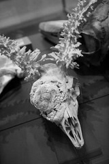 Deformed Deer Skull (shaire productions) Tags: skull bones image animal nature science scientific study photo photograph skeleton skeletal creature halloween creepy scary picture blackandwhite macabre dark horror biology taxidermy deformed anomoly weird tumor deformity deer antler
