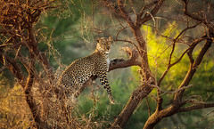 The Queen of Stealth (Ania.Photography) Tags: wildlife leopard queenofstealth samburu kenya animalwildlife animalshunting animalsinthewild horizontal leaf photography spotted tree bigcat