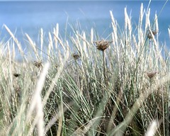 (*snow in september) Tags: seagrass grass coastal mutedcolours nature