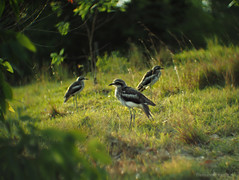 Curlews on KP-16_c (gnarlydog) Tags: projectionlens russianlens adaptedlens refittedlens bokeh bird australia nature 50mmf12