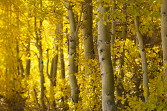 Backlit Aspens (Laura Zirino) Tags: aspens aspen light fall fallcolors autumn easternsierra ca california landscapes landscape