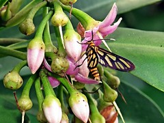 amata moth (DOLCEVITALUX) Tags: amatamoth moth tigermoth philippines insect insects