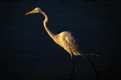 5DM4-0086.jpg (HVargas) Tags: glenrock newjersey unitedstates us easterngreategret greategret heron whitebird garza whiteheron wild wildbird glenrockduckpond