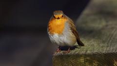 An European Robin watching me (Franck Zumella) Tags: european robin rouge gorge rougegorge redbreast bird oiseau red forest