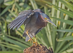 Green Heron ( Landing ) (billkominsky ) Tags: naturethroughthelens ngc