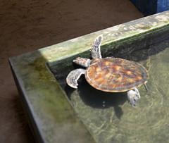 DSC_8671 (H Sinica) Tags: srilanka  ceylon  kosgoda turtle farm hatchery