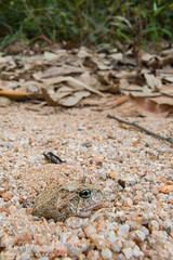 Ornate Burrowing Frog (J.P. Lawrence Photography) Tags: 2016 amphibians amphibia amphibian anura anuran australia australia2016 frog frogs herp herpetology herps limnodynastes limnodynastesornatus myobatrachidae ornateburrowingfrog ornatefrog platyplectrumornatum queensland salientia spring2016 travel vertebrates vertebrata vertebrate