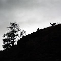 ART_5507mm (MILESI FEDERICO) Tags: milesi milesifederico minimal montagna montagne mammifero wild wildlife autunno automne italia italy iamnikon inmontagna alpi altavallesusa alpicozie altavaldisusa visitpiedmont valdisusa valsusa valledisusa valliolimpiche piemonte piedmont silhouette silouette sagoma sagome cesana cesanatorinese cervo tramonto travel sunset nikon nikond7100 nital natura nature d7100 dettagli dettaglio controluce contrasto bianconero bw biancoenero europa europe flickr fauna