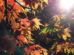 (StephenRandom) Tags: westonbirt leaves autumn colour
