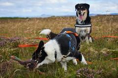 28august_Hringur&Venus_lastPlay_202 (Stefn H. Kristinsson) Tags: hringur venus august 2016 play leikur last reykjanes patterson iceland sland