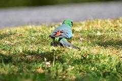 Male Red-rumped Parrot (Luke6876) Tags: redrumpedparrot parrot bird animal wildlife australianwildlife