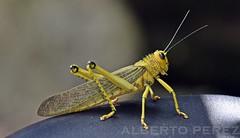 Posa para mi..... (alberto vtr) Tags: insecto saltamontes macro animal ojos antenas naturaleza mexico quintana roo limones tropical nikon d5300