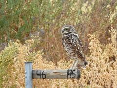 Burrowing Owl (aurospio) Tags: owl bird raptor arizona gilbertarizona zanjeropark burrowingowl