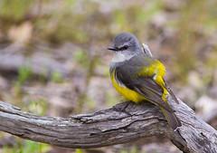 Western Yellow Robin (Allan Drewitt) Tags: allandrewitt western yellow robin eopsaltriagriseogularis australia endemic
