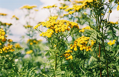 Tansy (Passej) Tags: wisconsin tansy noxiousplant barkersisland superior