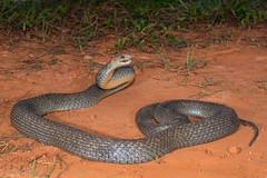 Eastern Brown Snake (Pseudonaja textilis) (Mattsummerville) Tags: easternbrownsnake brownsnake pseudonajatextilis snake elapid venomous reptile speewah queensland wettropics brown