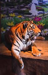 . (kelly.grace) Tags: thailand 50mm nikon tiger f18 18 thaitiger d3100