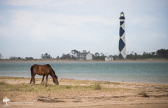 Beach Bum | Wild Pony Grazing in Style on Shackleford Banks (Zach Frailey (Uprooted Photographer)) Tags: wild horse lighthouse nc nikon unique wildlife northcarolina spanish pony sound mustang capelookout shacklefordbanks core wildhorse shackleford wildpony d600 coresound lighthousetrek