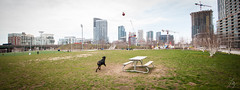 Bruno (Aka Who) Tags: city dog chien toronto dogs grass skyscraper ball play rottweiler vert bleu grumpy bruno verdure chiens jeu balle herbes petsocial