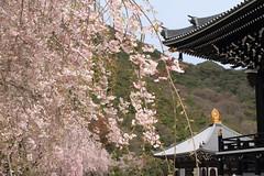 Cherry Blossoms - () 209 (() Art Project) Tags: art japanesegarden  cherryblossoms oriental  japaneseart cherrytree hyogo buddhistart     shrinesandtemples metalcarving   cooljapan     nenbutsushu      japanesefinearts   nenbutsushusanpouzanmuryojuji theroyalgrandhallofbuddhism