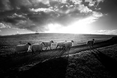 the half dozen (stocks photography.) Tags: blackandwhite bw sheep stocks blackandwhitephotography sheepies stocksphotography michaelmarsh canon5dmk11 sheepiesheeps